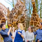 Giraffe Feeding - Chessington World of Adventures Resort